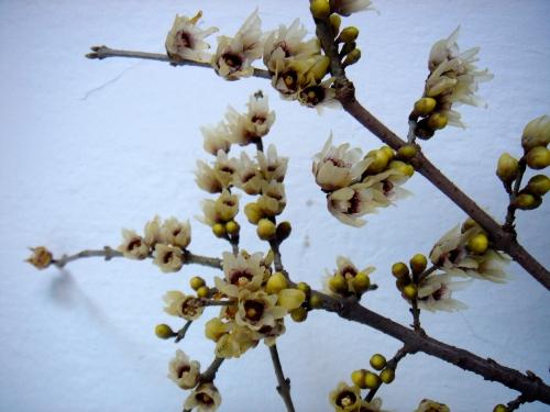 """: Adı Cadı Kadın, """"Japon fulyası / Chimonanthus praecox / Winter Sweet..."""", #Büyükada (18.1.2007). )O("""